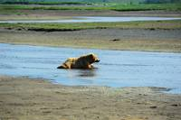 Alaskan Brown Bear 5