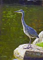 Heron standing tall