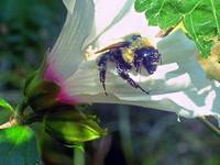 Bumble Bee Riding White Flower