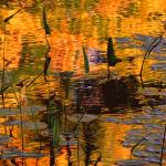 """Meadow Pond Arrow Plant Reflection"" by bavosiphotoart"