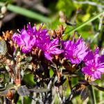 """Denali Wildflower - Lapland Rosebay"" by Lorraine_Sommer"
