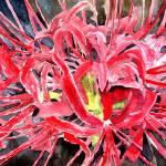 """""""red flowers spider lily flower"""" by derekmccrea"""