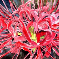 red flowers spider lily flower Art Prints & Posters by Derek McCrea