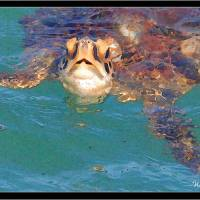 WGilroy ...Sea Turtle... Art Prints & Posters by william gilroy