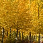"""Golden Aspens"" by boppintheblues"