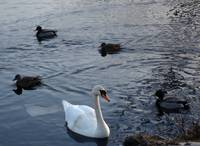 SWAN WITH DUCKS