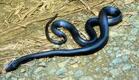 Black Mamba: 1 of World's Deadliest Snakes