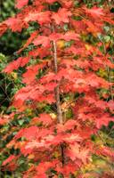 Autumnal Acer