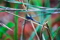 Country Dragonfly