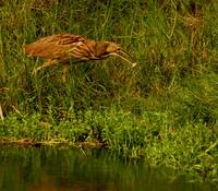 American Bittern Catching Dinner