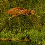 """Closer American Bittern Catching Dinner"" by TealWingPhotography"