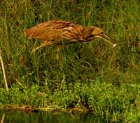 Closer American Bittern Catching Dinner