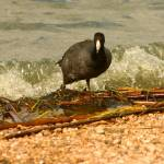 """American Coot Surfing The Edge"" by TealWingPhotography"