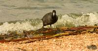 American Coot Surfing The Edge
