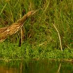 """American Bittern Full Stretch"" by TealWingPhotography"