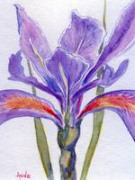 Iris... Beauty in Purple