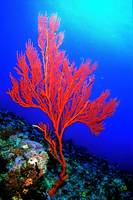The Red Seafan