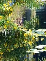 Daisies and pond