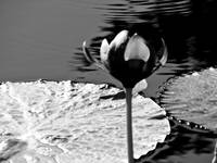 black and white water lily