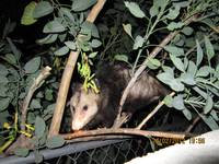 Opossum in tree