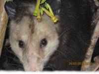 Opossum close up