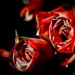 """""""Red Roses"""" by NCCreations"""