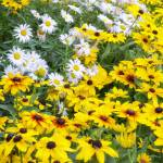 """Black Eyed Susans"" by walbyent"