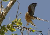 Red Shouldered Hawk Take off