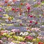 """floriade flower field, the  netherlands"" by phototes"