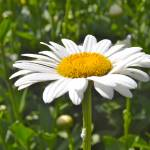 """daisy"" by phototes"