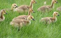 Gaggle of Canada Geese Goslings