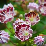 """Mountain Laurel"" by vpicks"