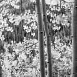 """""""Image ID# Whalen-110929-2601 - Telluride Aspen.jpg"""" by JoshWhalen"""