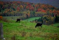 Vermont cows in waiting