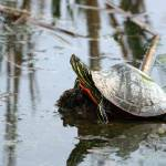"""Painted Turtle Reflection"" by rhamm"