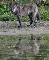 Black Wolf on the Shore