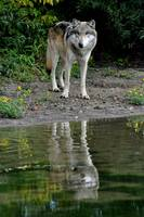 Grey Wolf on the Shore