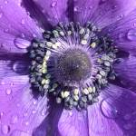 """Purple Passion Flower"" by Vince-McCall-Photography"