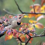 """""""Northern Flicker"""" by WildAboutNaturePhotography"""