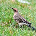 """Northern Flicker"" by WildAboutNaturePhotography"