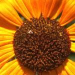"""""""Sun Flower"""" by Edwardcaz"""