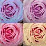"""Rose Spiral Colorful Mix"" by lightningman"
