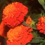 """""""Multicolor Carnation"""" by Edwardcaz"""