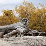 """""""Petrified Tree Log"""" by SylviaClaiborne"""