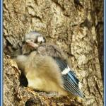 """Baby Blue Jay"" by marylynanne"