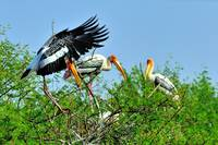 Indian Stork's Jump to Meet the Family