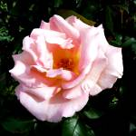 """Light Pink Rose"" by JMcCoubreyPhotography"