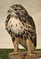 RED TAILED HAWK **