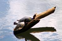 Sunbathing Turtles