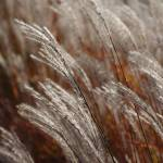 """Windblown grass"" by kendietz"